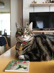 Tigger on the Table 1 (sjrankin) Tags: 26august2018 edited animal cat kitahiroshima hokkaido japan closeup tigger table dinnertable livingroom