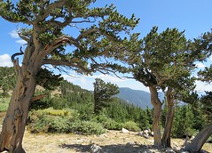 Windswept Ancients (Patricia Henschen) Tags: bristlecone pines ancient mtgoliath naturalarea mtevansscenicbyway pinusaristata pine pinus trees mountains clouds grove idahosprings colorado denverbotanicgardens dbg trail loop bristleconepine