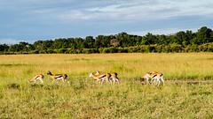 Golden late afternoon light.Johnson's Gazellas (odileva) Tags: antelopes june kenia masaimaranp nature transmara riftvalleyprovince kenya ke