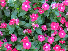 Pink Vinca. (dccradio) Tags: lumberton nc northcarolina robesoncounty outdoor outdoors outside nature natural flower floral flowers plant greenery vinca vincas pink white leaf leaves foliage flowerbed flowergarden sunday afternoon earlyevening august summer summertime canon powershot elph 520hs