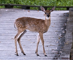 082618154628asmweb (ecwillet) Tags: deer nikond500 wildwoodparkharrisburgpa ecwillet ericwillet nikon200500f56