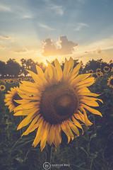 Sunflower at Sunset. (KitosRD) Tags: gerbera phalaenopsis floral plumeria blooming petal purple orchids daisy marguerite delicate peony beautiful beauty sunflower sunset yellow plant flower fuji xt2 atardecer girasol segovia