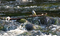 Grey wagtail on the River Dee (kitmasterbloke) Tags: greywagtail cefnmawr riverdee wales wrexham bird river water