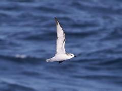 Cook's Petrel (tombenson76) Tags: pelagic losangelescounty sanclementecanyon cookspetrel pterodromacookii