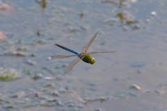 Dragonfly (A Great Capture) Tags: agreatcapture agc wwwagreatcapturecom adjm ash2276 ashleylduffus ald mobilejay jamesmitchell toronto on ontario canada canadian photographer northamerica torontoexplore summer summertime été sommer 2018 nature dragonfly