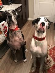 KozmoAndKramer (Alpen Schatz - Mary Dawn DeBriae) Tags: happy customer alpenschatz bernesemountaindog dog swissdogcolar hunterswisscrosscollar doggles stein
