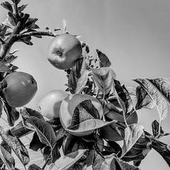 Apple Season (enneafive) Tags: apples sky monochrome leaves tree orchard plantation fujifilm xt2 fruit hdr vintagelook affinityphoto