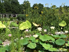 Wheaton, IL, Cantigny Park, Idea Garden, Pond and Lotus Flowers (Mary Warren 11.3+ Million Views) Tags: wheatonil cantignypark nature flora plants green leaves foliage pond waterlilypads lotus pink blooms blossoms flowers