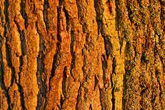 Ravines in Bark (Jarman Images) Tags: 365project bark oak oaktree outdoors tree westsussex wood texture