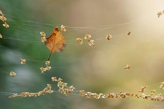 Birkensamen  /  birch seed