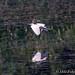 Fleeing Egret