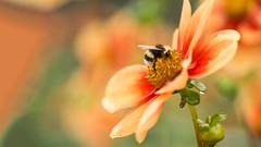 Summercolors (Renate Bomm) Tags: blumen blüten ef100mmf28lusm flora kölnerflora pflanzen renatebomm sommer sonyilce6000 macro golden nahaufnahme dahlie biene