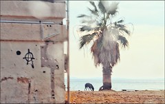 * (PattyK.) Tags: greece grecia griechenland hellas ellada balkans europe europeanunion snapseed ελλάδα ευρώπη βαλκάνια ηγουμενίτσα θεσπρωτία ήπειροσ epirus igoumenitsa ipiros thesprotia summer august 2018 καλοκαίρι αύγουστοσ beach drepano beachdrepano dog sea bythesea seaside θάλασσα παραλία δρέπανο σκύλοσ tree
