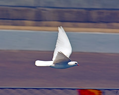 Bird of happiness (jcdriftwood) Tags: bird birdofhappiness dove white whitedove fly flying indianapolismotorspeedway pitlane pitroad pits flight