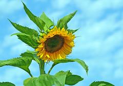 Sonnenblume (anubishubi) Tags: pflanze plant blume flower sonnenblume sunflower blüte pentaxk100d