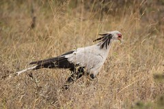 Big bird (Nagarjun) Tags: secretarybird sagittariusserpentarius bigbird avifauna feathers nairobinationalpark gamedrive savannah kenya