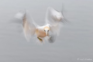 Northern Gannet, long exposure time