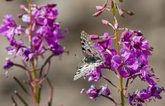 Apollon (JeanJoachim) Tags: apollon parnassiusapollo lepidoptera papilionidae apollo mountainapollo apollobutterfly smcpentaxda300mmf4edifsdm pentaxk5ii roterapollo