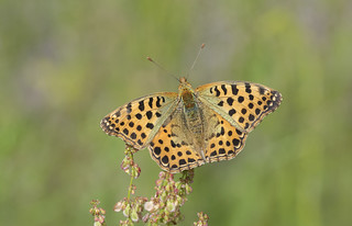 Queen of Spain Fritillary  (Issoria lathonia).