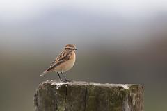 Whinchat (Tealham Moor) (Steve Balcombe) Tags: bird whinchat saxicola rubetra tealham moor somerset levels uk