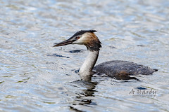 Gt Crested grebe (spicspics) Tags: animals birds waterbirds water greatcrestedgrebe swimming