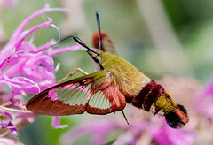 Hummingbird Clearwing Moth (tresed47) Tags: 2018 201807jul 20180720springtonmacro canon7d canon7dmkii chestercounty content folder hummingbirdclearwingmoth hummingbirdmoth insects july macro moth pennsylvania peterscamera petersphotos places season springtonmanor summer takenby technical us