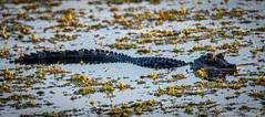 DSC_9334 (dwhart24) Tags: orlando wetlands park nikon d500 david hart nature animals 200500 tc 14