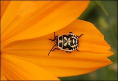 Patterned Shield bug (catb -) Tags: france saintgeniès bug insect shieldbug stinkbug punaise macro beetle larva dordogne