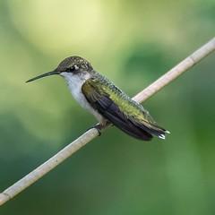 Bird on a wire (Fred Roe) Tags: nikond810 nikkorafs80400mmf4556ged nature wildlife birds birding birdwatching birdwatcher hummingbird rubythroatedhummingbird archilochuscolubris peacevalleypark