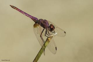 Trithemis annulata. Adult male