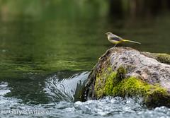 Grey Wagtail (Ponty Birder) Tags: g b wheeler pontybirder garywheeler wagtail birds wales