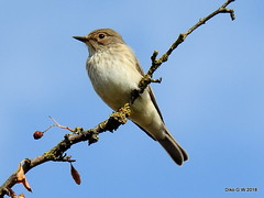Spotted Flycatcher (Diko G.W.) Tags: spottedflycatcher eastyorkshire northcave northcavewetlands