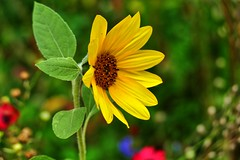 Kleine Sonnenblume (W@llus2010) Tags: sinnesgarten nienhagen bokeh nahaufnahme
