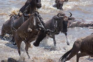 IMGP9200 Mara River Crossing