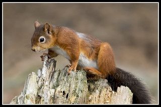 IMG_0039 Red Squirrel