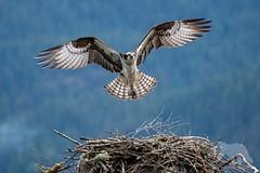 Osprey Landing (fascinationwildlife) Tags: animal wild wildlife nature natur spring kanada canada bc bird birding raptor raubvogel vogel tiere osprey inflight approach landing nest adler fischadler