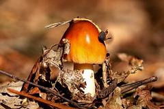 Coming Out (R. Engelsman) Tags: fungi fungus fungo mushroom champignon pilze paddenstoel paddestoel forest nature natuur autumn herfst herbst macro nationaalparkdeloonseendrunenseduinen nationaalpark deloonseendrunenseduinen netherlands nederland nl sigma105mm 105mm focusstacking amanitafulva amanita