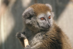 Alaotra Gentle Lemur (charliejb) Tags: alaotragentlelemur gentlelemur lemur 2018 bristolzoo bristol wildlife mammal primate eyes fur furred