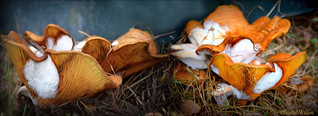 Mushrooms that get fungal infection.