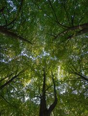 Canopy (Kari Siren) Tags: canopy tree oak park pärnu estonia