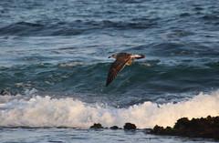 Juvenile kelp gull, Towradgi Beach (RossCunningham183) Tags: towradgibeach nsw wollongong australia bird juvenile gull kelpgull ocean sea wave shorebird