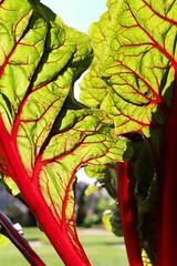 Veins (RW-V) Tags: canoneos70d canonefs35mmf28macroisstm leaves blätter feuilles bladeren colourful couleurs kleurrijk paleistuin palaishetloo sooc 100faves 150faves 175faves 200faves 2500views