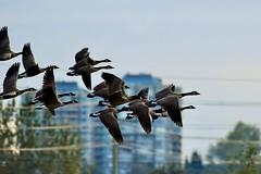 Canada Goose (Branta canadensis) (gabicuff1) Tags: flockofcanadageese abbotsford britishcolumbia canada canadagoose brantacanadensis flight