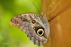 Farfalla testa di gufo (guitarmargy) Tags: farfalla butterfly animal artropodi entomologia marcellobardi insect gufo occhio marrone mimetizzazione closeup wildlife nature colors fauna lepidottero