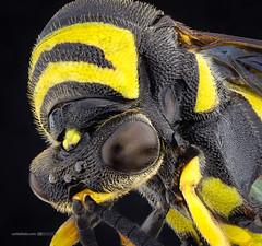Eumeninae (Carballada) Tags: macrophotography macro macrofotografia stacked insecto insect bug animal