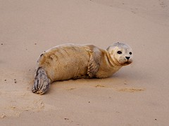 Common Seal at Winterton-on-sea (AMcUK) Tags: em10 em10ii omdem10 omdem10mkii em10mkii omd olympusuk m43 micro43rds micro43 microfourthirds olympus olympusdigital olympusdigitalcamera olympusomd winterton norfolk norfolkbeach wintertononsea seal seals