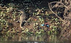 Asian water monitor and Kingfisher -  Kanchanaburi, Thailand 2018 (Dis da fi we) Tags: monitor lizard kingfisher kanchanaburi thailand asian water varanus salvator