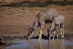 Kudu Antelope (leendert3) Tags: leonmolenaar southafrica krugernationalpark wildlife nature mammals kudu