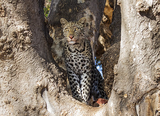 Young leopard in the Mashatu game reserve