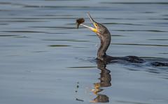 Happy Fisch... (wernerlohmanns) Tags: wildlife wasservögel natur nikond750 schärfentiefe sigma150600c outdoor deutschland nabu biotop nsg